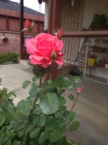 roseingarden-2016